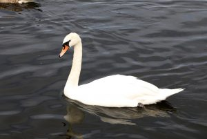 Swan on the River Trent