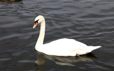 Ditch the Swan Business Model – Outsource